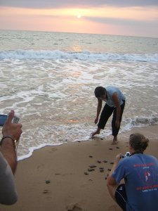 Releasing hatched baby turtles rescued from an unsafe nest