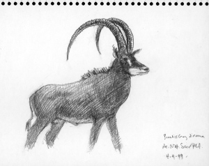 Giant Sable, Academy of Natural Sciences; graphite on paper 1999, by John Walker