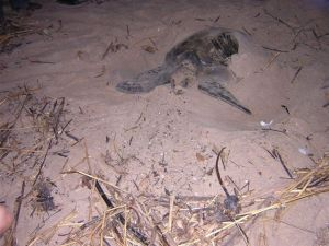 An Olive Ridley  turtle preparing to lay her eggs at Praia das Oncas, Angola.