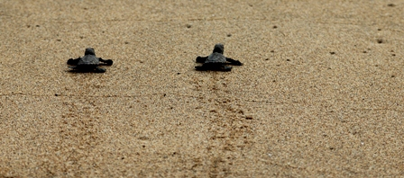 Freshly hatched baby leatherbacks find their way to the water. Photo courtesy M. Mohlerova.