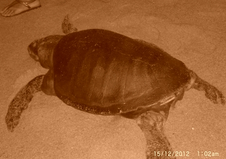 Dead Olive Ridley female turtle. Photo courtesy Susana Borges.
