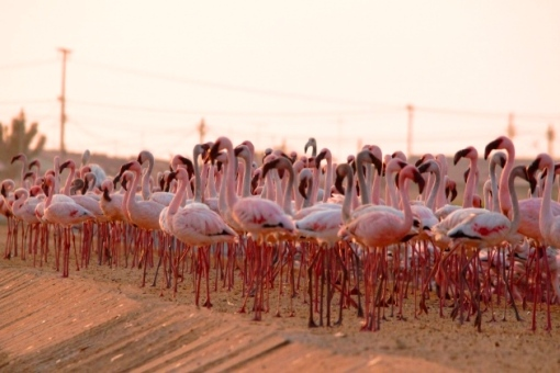 Lesser Flamingos in Lobito in August 2013 taken by Angola Birder Chris Stavrou