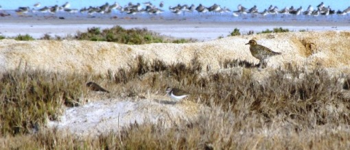 Shore birds on Musssulo Bay.