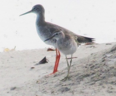 Common Redshank.