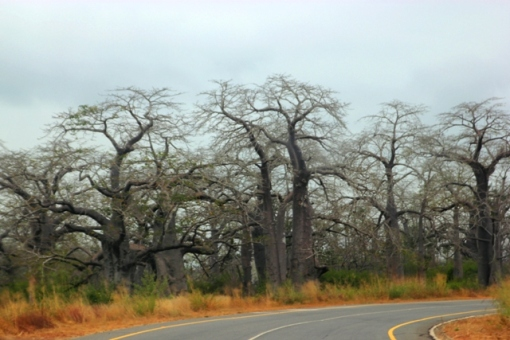 Land of Baobobs, the Road to Quicama Park via Muxima.