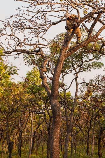Ranger placing a trap camera high to monitor poacher trails; Fiscal colocando uma câmara alto para monitorar passagem de caçadores.