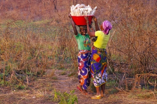 Loading up cassava. Photo: Henriette Koning.