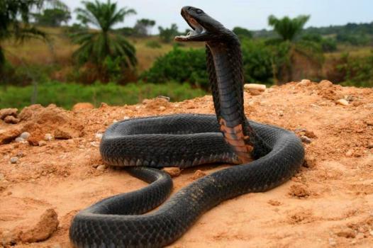 Venomous Black necked spitting cobra (Naja nigricollis) in Zaire province.