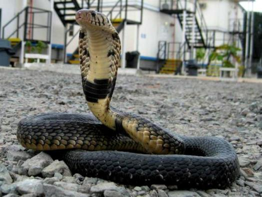 ​A Forest cobra (Naja melanoleuca) found in residential area.