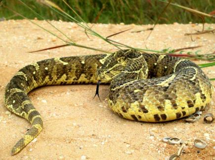 Puff adder Soyo