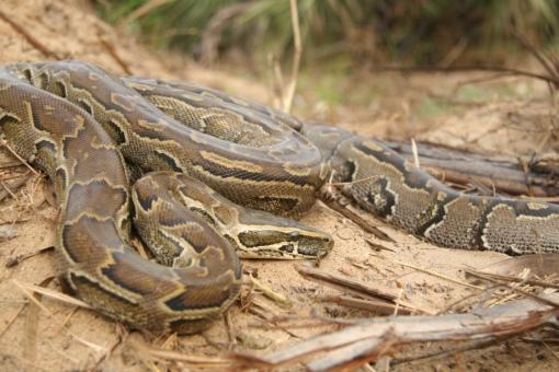 African Rock Python / Python sebae