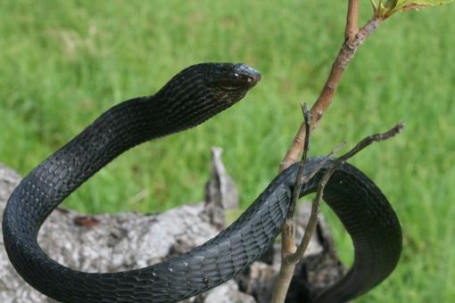 Black tree snake (Thrasops jacksoni)